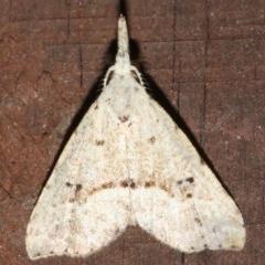 Trigonistis asthenopa (An Erebid moth (Hypenonidae)) at Rosedale, NSW - 26 Feb 2019 by jbromilow50