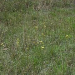 Diuris sulphurea (Tiger Orchid) at Huskisson, NSW - 9 Oct 2011 by AlanS