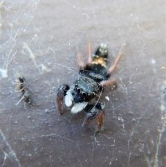 Apricia jovialis (Jovial jumping spider) at Cook, ACT - 28 Mar 2018 by CathB