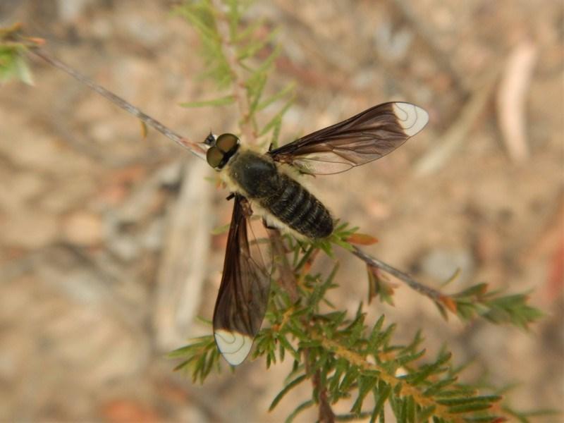 Comptosia sp. (genus) at Aranda Bushland - 5 Mar 2019