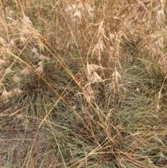 Themeda triandra (Kangaroo Grass) at Melba, ACT - 5 Mar 2019 by dhkmapr