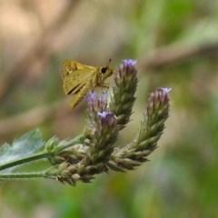Ocybadistes walkeri (Greenish Grass-dart) at Cotter Reserve - 4 Mar 2019 by RodDeb