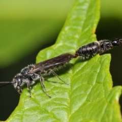 Tiphiidae sp. (family) at ANBG - 1 Mar 2019