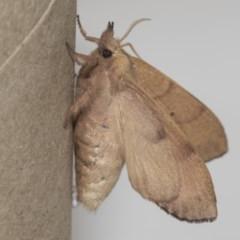 Pararguda nasuta (Wattle Snout Moth) at Higgins, ACT - 5 Mar 2019 by AlisonMilton