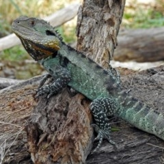 Intellagama lesueurii howittii (Gippsland Water Dragon) at Uriarra Village, ACT - 4 Mar 2019 by RodDeb