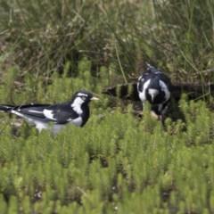 Grallina cyanoleuca (Magpie-lark) at Mulligans Flat - 3 Mar 2019 by Alison Milton