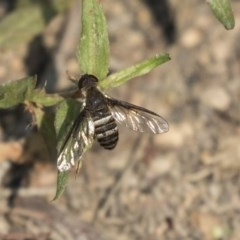 Villa sp. (genus) (Unidentified Villa bee fly) at Mulligans Flat - 3 Mar 2019 by Alison Milton
