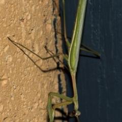 Pseudomantis albofimbriata (False garden mantis) at Higgins, ACT - 5 Mar 2019 by Alison Milton