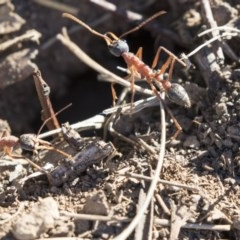 Myrmecia nigriceps (Black-headed bull ant) at Higgins, ACT - 20 Sep 2018 by Alison Milton