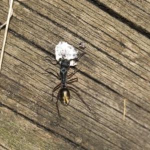 Camponotus suffusus at ANBG - 19 Feb 2019
