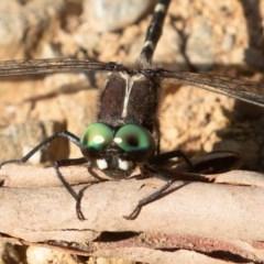Eusynthemis guttata (Southern Tigertail) at Namadgi National Park - 27 Feb 2019 by rawshorty