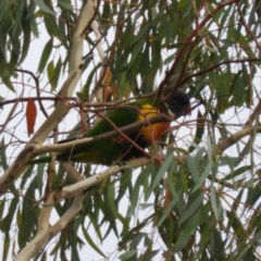Trichoglossus moluccanus (Rainbow Lorikeet) at Kambah, ACT - 5 Mar 2019 by MatthewFrawley