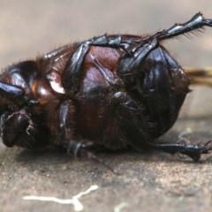 Dasygnathus trituberculatus (Rhinoceros beetle) at Rosedale, NSW - 27 Feb 2019 by jbromilow50