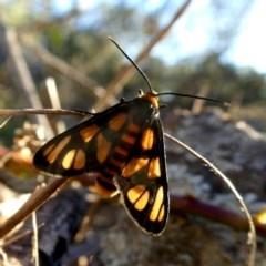 Amata sp. (genus) (Tiger Moth) at Wandiyali-Environa Conservation Area - 6 Mar 2019 by Wandiyali