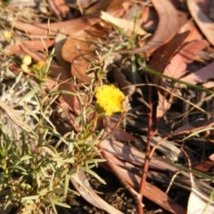 Rutidosis leptorhynchoides (Button wrinklewort) at Kingston, ACT - 6 Mar 2019 by MichaelMulvaney