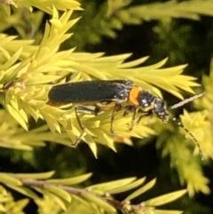 Chauliognathus lugubris (Plague soldier beetle) at Lyons, ACT - 7 Mar 2019 by jackQ