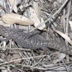 Christinus marmoratus (Southern Marbled Gecko) at Giralang, ACT - 7 Mar 2019 by Alison Milton
