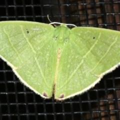 Metallochlora neomela (An Emerald moth) at Rosedale, NSW - 25 Feb 2019 by jbromilow50