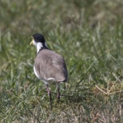Vanellus miles (Masked Lapwing) at Giralang, ACT - 7 Mar 2019 by Alison Milton