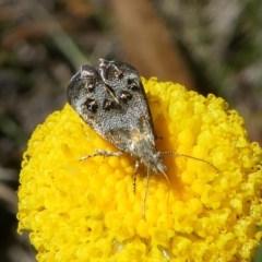 Tebenna micalis (Vagrant Twitcher or Small Thistle Moth) at Namadgi National Park - 23 Feb 2019 by HarveyPerkins