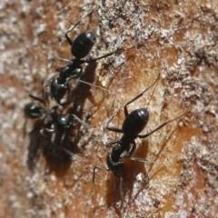 Anonychomyrma sp. (genus) (Black Cocktail Ant) at Namadgi National Park - 23 Feb 2019 by HarveyPerkins