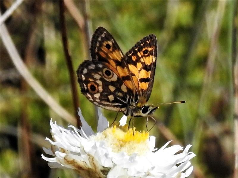 Oreixenica orichora at Namadgi National Park - 7 Mar 2019