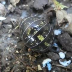 Armadillidium vulgare at Kambah, ACT - 3 Mar 2019