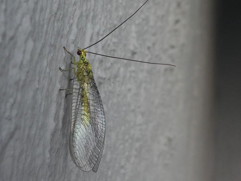 Mallada sp. (genus) at Kambah, ACT - 4 Mar 2019