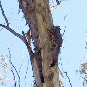 Petaurus breviceps at Hughes Garran Woodland - 31 Aug 2014