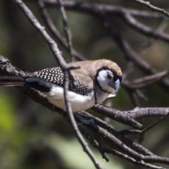 Taeniopygia bichenovii (Double-barred Finch) at Nicholls, ACT - 7 Mar 2019 by Alison Milton