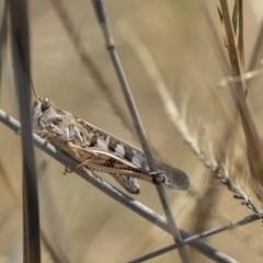 Austroicetes sp. (genus) (A grasshopper) at Harcourt Hill - 7 Mar 2019 by Alison Milton