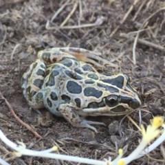 Limnodynastes tasmaniensis (Spotted Grass Frog) at Namadgi National Park - 1 Apr 2017 by AndrewCB