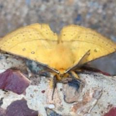 Anthela nicothoe (Urticating Anthelid moth) at Kosciuszko National Park - 27 Jan 2019 by AndrewCB
