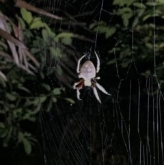 Unidentified Spider /  Scorpion (TBC) at Murramarang National Park - 2 Feb 2019 by AndrewCB