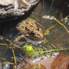 Limnodynastes tasmaniensis (Spotted Grass Frog) at Namadgi National Park - 20 Jan 2019 by AndrewCB