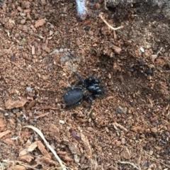 Hexathelidae sp. (family) (Funnelweb spider) at Namadgi National Park - 19 Jan 2019 by AndrewCB
