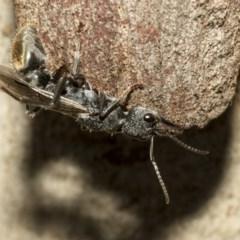 Myrmecia sp. (genus) (Bull ant or Jack Jumper) at Nicholls, ACT - 6 Mar 2019 by Alison Milton