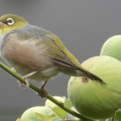 Zosterops lateralis (Silvereye) at Hughes, ACT - 5 Mar 2019 by JackyF
