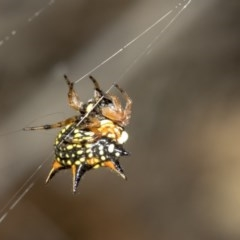 Austracantha minax (Christmas Spider, Jewel Spider) at Nicholls, ACT - 6 Mar 2019 by Alison Milton
