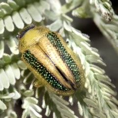 Calomela vittata (Acacia leaf beetle) at Nicholls, ACT - 6 Mar 2019 by AlisonMilton