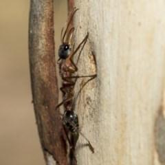 Myrmecia nigriceps (Black-headed bull ant) at Nicholls, ACT - 6 Mar 2019 by Alison Milton