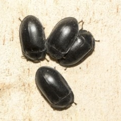 Pterohelaeus striatopunctatus (Darkling beetle) at Nicholls, ACT - 6 Mar 2019 by Alison Milton