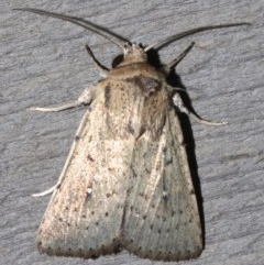 Leucania uda (A Noctuid moth) at Rosedale, NSW - 25 Feb 2019 by jbromilow50
