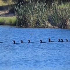 Phalacrocorax sulcirostris (Little Black Cormorant) at Isabella Plains, ACT - 7 Mar 2019 by RodDeb