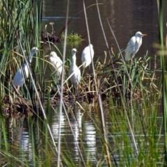 Bubulcus ibis (Cattle Egret) at Isabella Plains, ACT - 7 Mar 2019 by RodDeb
