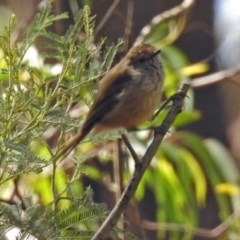 Acanthiza pusilla (Brown Thornbill) at Paddys River, ACT - 7 Mar 2019 by RodDeb