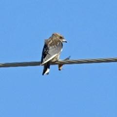 Artamus cyanopterus (Dusky Woodswallow) at Tidbinbilla Nature Reserve - 7 Mar 2019 by RodDeb
