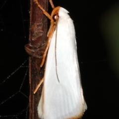 Xylorycta sp.(genus) (A Xyloryctine moth) at Guerilla Bay, NSW - 26 Feb 2019 by jbromilow50