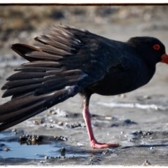 Haematopus fuliginosus (Sooty Oystercatcher) at Murramarang National Park - 7 Mar 2019 by Stewart