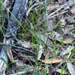 Cyanthillium cinereum at South Pacific Heathland Reserve - 7 Feb 2019 by NicholasdeJong